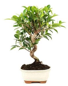 Bonsai 8ans Ficus retusa