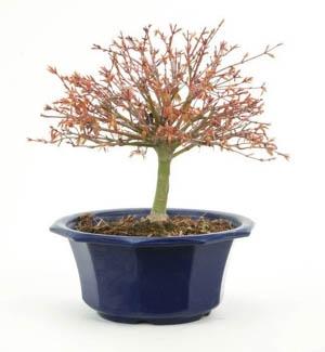 Bonsaï 18 ans Acer palmatum kiyoshime