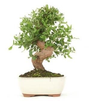 Bonsai 16 ans Quercus suber