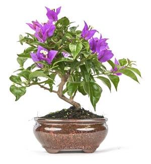 Bonsai 10 ans Bouganvillea glabra